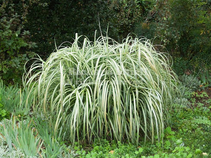 JAPANESE SILVER GRASS MISCANTHUS SINENSIS VAR. CONDENSATUS 'CABARET' AT HUNTINGTON GARDENS