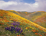 Los Angeles County, CA<br /> California poppies and lupine on rolling hillsides near Gorman