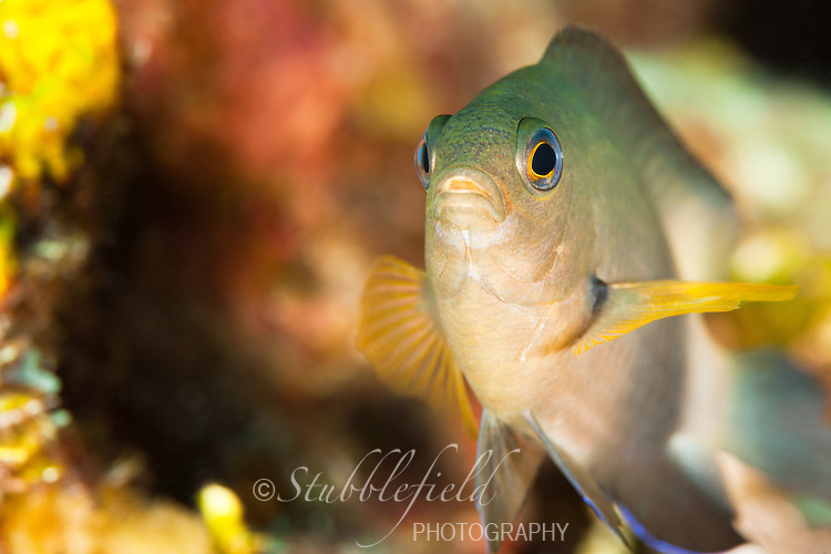 Threespot Damselfish (Stegastes planifrons) on a tropical coral reef off the island of Roatan, Honduras.