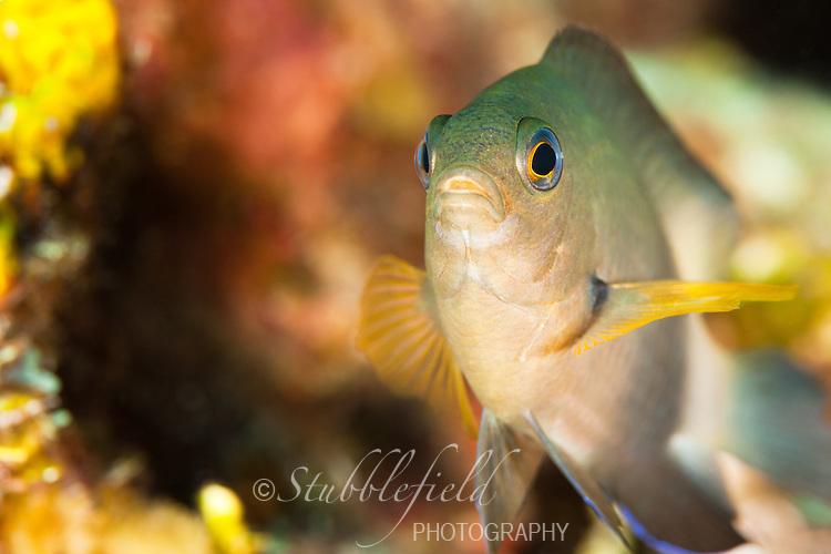 Threespot Damselfish (Stegastes planifrons) on a tropical coral reef off the island of Roatan, Honduras.
