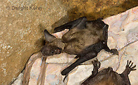 MA20-715z  Big Brown Bat 4 week old young,  Eptesicus fuscus