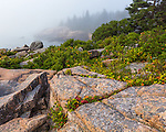 Acadia National Park, ME: Morning fog on granite boulders and berry bushes near Otter Cliffs in late summer