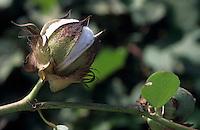 Europe/Turquie/Env d'Aspendos : Plantation de coton