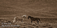 Red Desert Mustang Wild Horse Photography by western photographer Jess Lee. Pictures of mustangs in the West. Fine art images,Prints,photos Wild horse photo,wildhorses in the american west,