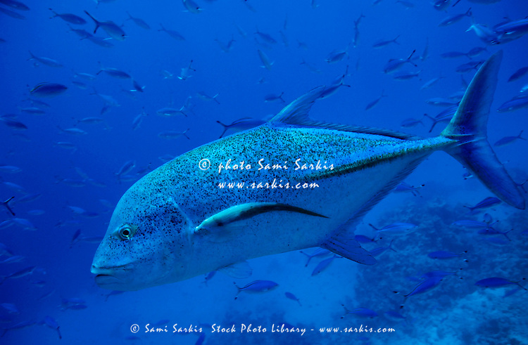 Bluefin trevally (Caranx melampygus) swimming among  school of fishes