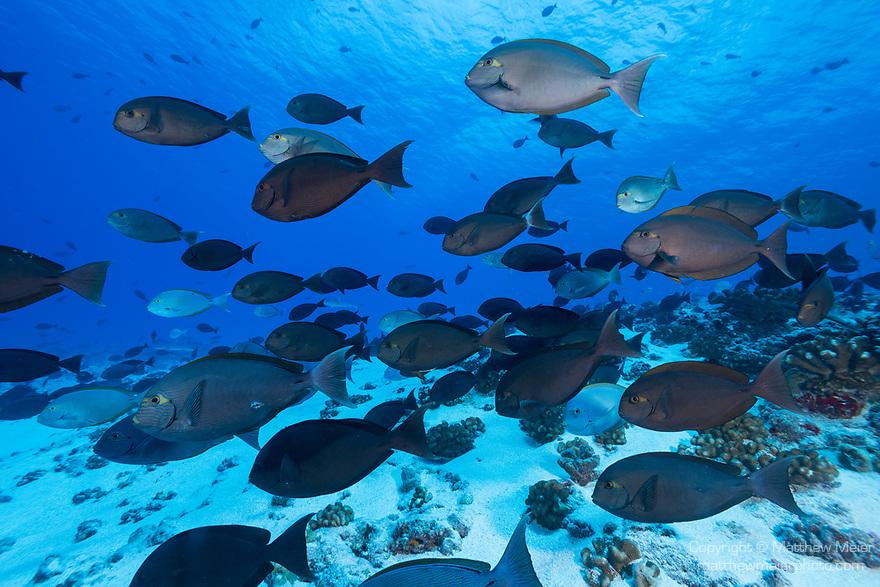 Fakarava Atoll, Tuamotu Archipelago, French Polynesia; a large school of yellowmask surgeonfish swimming into a swift current