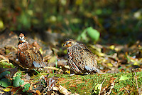Male and female bobwhite quail.