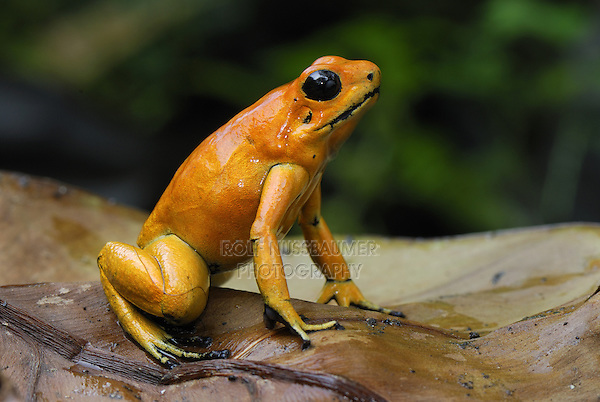 Golden Poison Dart Frog..(Phyllobates terribilis)..Cauca, Colombia