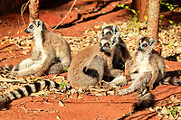Ring-tailed Lemur (Lemur catta), group of adults, Berenty Reserve, Madagascar, Africa
