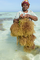 TANZANIA, Zanzibar, Paje, women plant seaweed near the beach, the red algae is used to extract carageenan as thickener for cosmetics and Food additive E 407 / TANSANIA, Sansibar, Paje, Frauen pflanzen Rotalgen am Strand, aus den essbaren Algen wird Carrageen als Emulgator und Verdickungsmittel E407 fuer Kosmetik und die Nahrungsmittelindustrie gewonnen, z.B. Eis, Cola, Syrup, Saft usw.