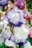 Iris Orinoco Flow, bearded irises white with blue purple picotee edges