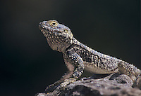 Starred Agama, Agama stelio stelio, adult on rock wall, Samos, Greek Island, Greece, Europe