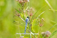 06593-00907 Eastern Pondhawk dragonfly (Erythemis simplicicollis) male perched near wetland, Marion Co., IL