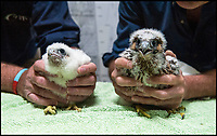 BNPS.co.uk (01202 558833)<br /> Pic: TomWren/BNPS<br /> <br /> Orphaned chick Wylye (right) with his new step brother Dene after being ringed.<br /> <br /> An orphaned peregrine falcon chick whose parents were deliberately poisoned has been tagged as it prepares to leave its adopted nest.<br /> <br /> The young bird was rescued from its nest by experts after its parents were found dead on the ground.<br /> <br /> It was placed into a nest with another chick of similar age in the tower of Salisbury Cathedral, Wilts, and reared by its adopted mother.<br /> <br /> Phil Shelldrake, of the RSPB, has ringed the chick so they can monitor it in the future before it flies the nest.