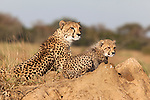 Cheetah with cub (Acinonyx jubatus), Phinda private game reserve, Kwazulu Natal, South Africa, June 2012