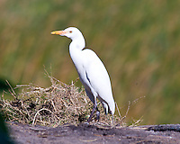 Cattle Egret, Tofu Beach, Mozambique