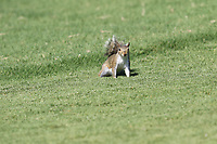 Squirrel during Thursday's Round 1 of the 2017 PGA Championship held at Quail Hollow Golf Club, Charlotte, North Carolina, USA. 10th August 2017.<br /> Picture: Eoin Clarke | Golffile<br /> <br /> <br /> All photos usage must carry mandatory copyright credit (&copy; Golffile | Eoin Clarke)