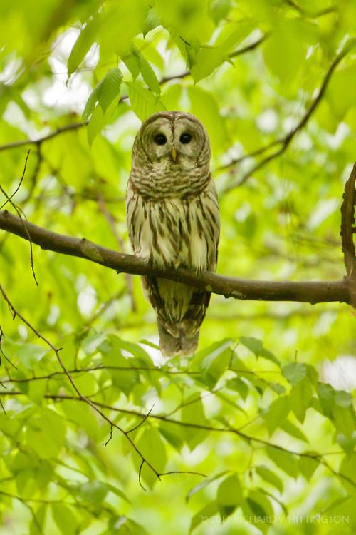 Barred Owl, Adirondack League Club.