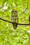 Barred Owl, Adirondack League Club.