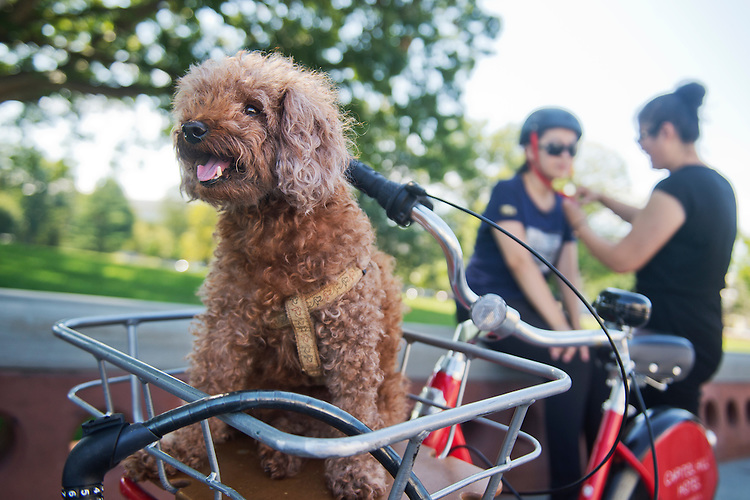 UNITED STATES - AUGUST 25: Mary, a poodle from Charlottetown, Canada, prepares for a ride with her owners Elsa Xiong, 15, in helmet, and her mother Margaret Wang, on the East Front plaza of the Capitol, August 25, 2015. (Photo By Tom Williams/CQ Roll Call)