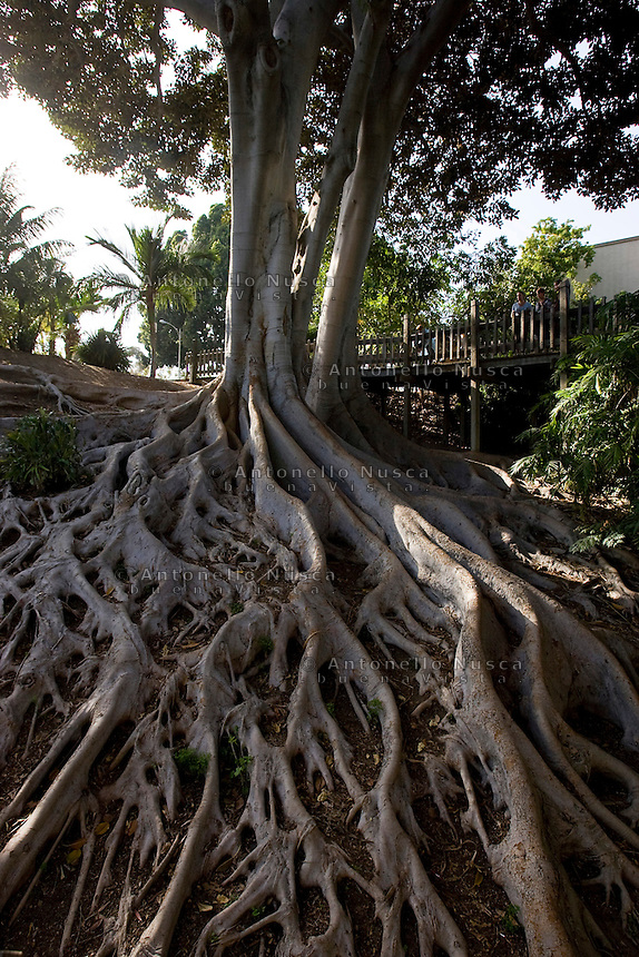 San Diego, California Usa, June 10, 2007. A giant tree at the Balboa Park..Un albero gigante al Balboa Park di san Diego