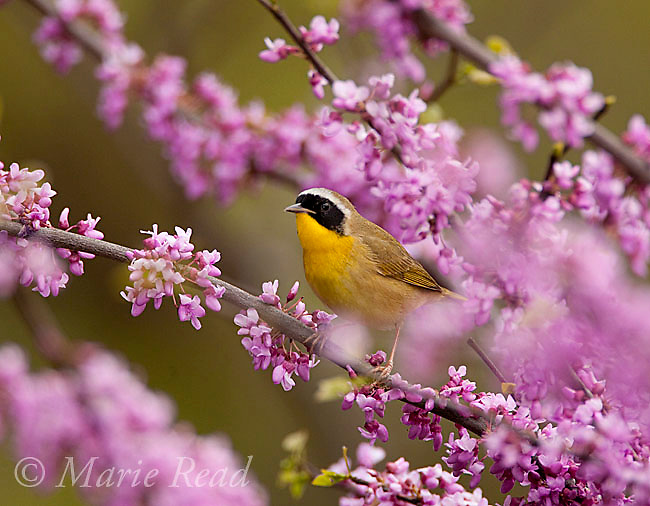 Common Yellowthroat (Geothlypis trichas) male perched in flowering redbud in spring, New York, USA