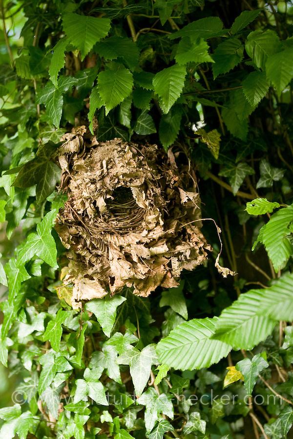 Zaunkönig, Nest, Kugelnest vom Zaun-König aus trockenen Blättern und Moos im Gebüsch, Troglodytes troglodytes, Wren,Troglodyte mignon