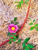 Rose flower and granite. Inyo National Forest, California.