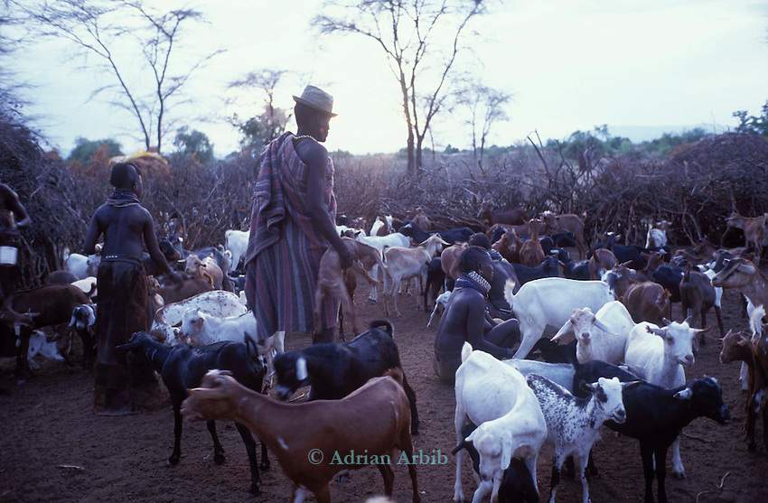 The  livestock  ( goats and Sheep)  are  brought inside a family manyatta in a Turkana village in the  evenings  for milking and protection from wild animals and raiding  .  Northern Kenya.....