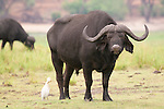 Birds like to hang around buffalo herds -- cattle egrets eat insects disturbed by their movements, and oxpeckers (not pictured here) eat the insects on their hides.<br /> <br /> Chobe National Park, Botswana