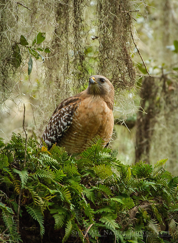 Red-shouldered Hawk sitting in a tree in the wooded area of Myakka River State Park