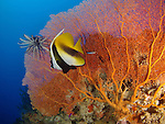 Siaes Tunnel, Palau -- Large gorgonian sea fan with masked bannerfish.