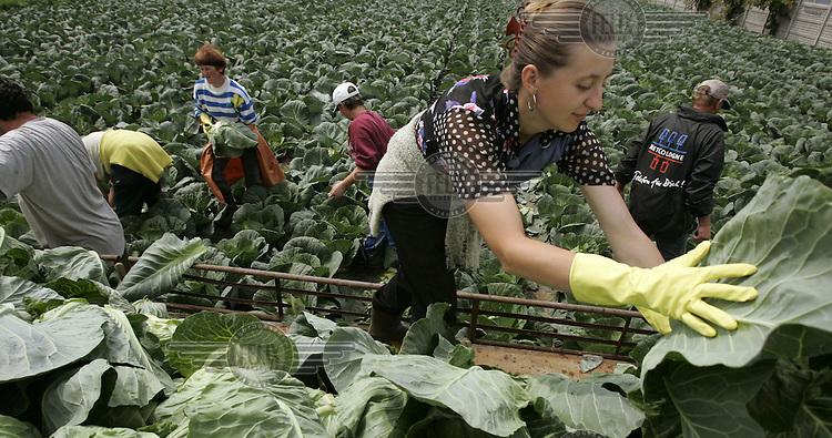 Ukrainian seasonal workers picking cabbage at a farm in central Poland..