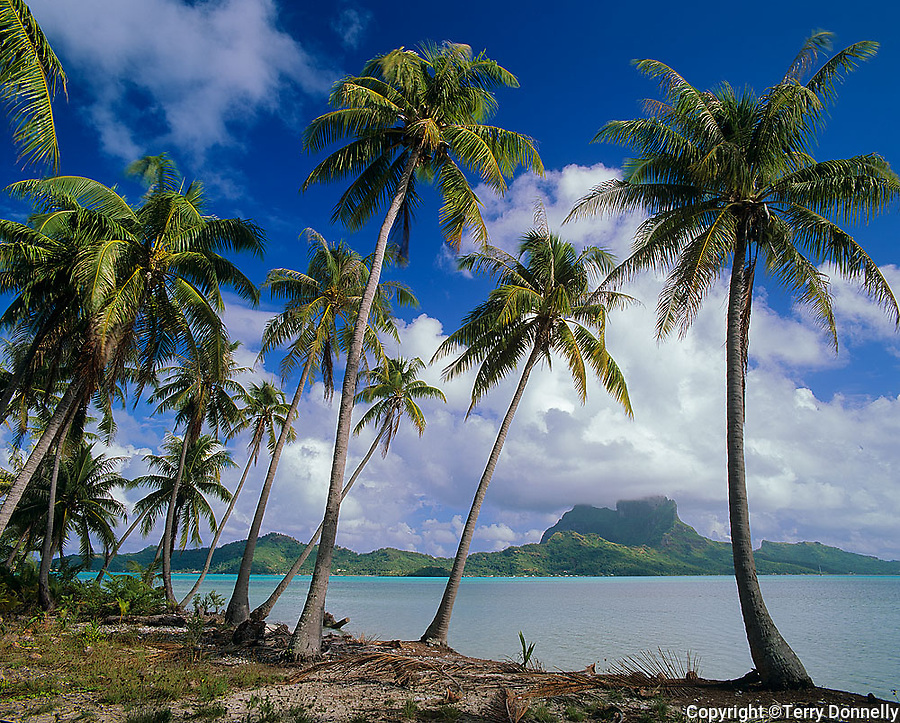 Bora Bora, French Polynesia   <br /> Coconut Palm trees (Cocos nucifera) on Moto Piti Aau frame the view of Bora Bora across the lagoon and Faaopore Bay