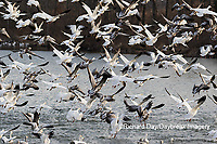 00754-02604 Snow Geese (Anser caerulescens) landing on lake Marion Co. IL