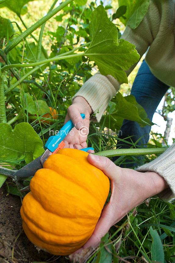 Récolte de courge (variété 'Acorn') // Harvest of squash (cv. 'Acorn')
