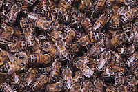 Honey Bee (Apis mellifera), hive, Sinton, Corpus Christi, Coastal Bend, Texas, USA