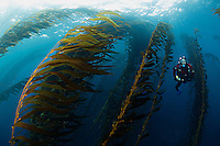 RS0127-D. a scuba diver (model released) swims through a kelp forest on the Tasman Peninsula, southeast Tasmania. Forests of giant kelp (Macrocystis pyrifera) once thrived all along the east coast, but warming water temperatures and an outbreak in sea urchins have caused a loss of many of the forests. Tasmania, Australia, Pacific Ocean.<br /> Photo Copyright &copy; Brandon Cole. All rights reserved worldwide.  www.brandoncole.com