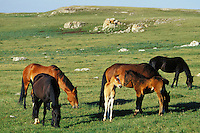 Wild Horse herd with two colts grazes in mountain meadow, Western U.S., summer..(Equus caballus)