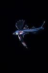 Snaketooth swallower, Kali macrodon, Black Water diving, Pelagic marine life; planktonic creature; Off Riviera Beach, Fl, Gulfstream Current, South Atlantic Ocean.