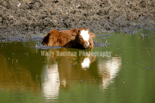 Cattle farming and ranching