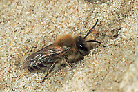 Frühlings-Seidenbiene, Weiden-Seidenbiene, Seidenbiene, Seidenbienen, Colletes cunicularius, Spring Colletes
