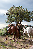 USA, Wyoming, Encampment, a wrangler holds two horses by the reins, Abara Ranch