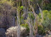 Alluaudia procera Madagascan Ocotillo; Living Desert, Palm Springs, Ca.