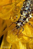 1L04-006z  Green Lacewing larva on flower - Chrysopa spp.