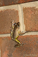 0201-0927  Cuban Treefrog on Brick Wall of House at Night Hunting for Insects (Cuban Tree Frog), Osteopilus septentrionalis  © David Kuhn/Dwight Kuhn Photography