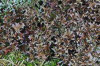 Isländisches Moos, Lichen Islandicus, Islandmoos, Blutlungenmoos, Fiebermoos, Hirschhornflechte, Flechte, Cetraria islandica, Iceland moss, La mousse d'Islande, lichen d'Islande