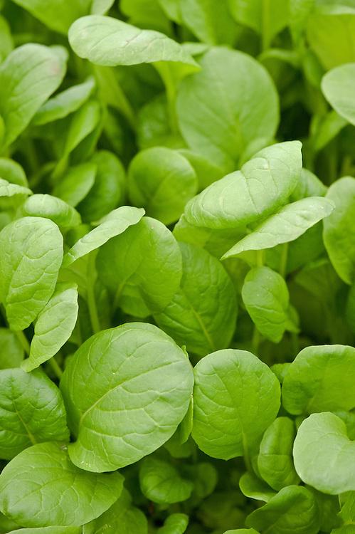 Komatsuna 'Torasan', an Oriental mustard spinach.