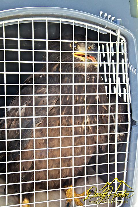 Juvenile Bald Eagle rescue, Swan Valley, Idaho