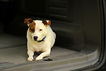 Emma, Jack Russell terrier in car back.